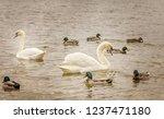 white swans swimming on the... | Shutterstock . vector #1237471180