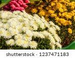 autumn chrysanthemums. belarus. | Shutterstock . vector #1237471183