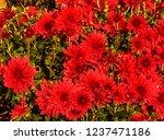 autumn chrysanthemums. belarus. | Shutterstock . vector #1237471186