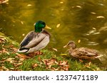 city mallard duck. drake.... | Shutterstock . vector #1237471189