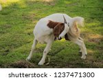 close up view of goat in farm | Shutterstock . vector #1237471300