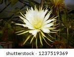 'queen of the night' cactus ...   Shutterstock . vector #1237519369