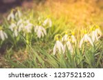nowdrop spring flowers....   Shutterstock . vector #1237521520