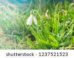 nowdrop spring flowers....   Shutterstock . vector #1237521523