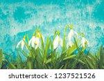 nowdrop spring flowers....   Shutterstock . vector #1237521526