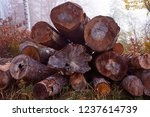 there are felled trees at the... | Shutterstock . vector #1237614739
