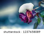 beautiful rose covered with... | Shutterstock . vector #1237658089