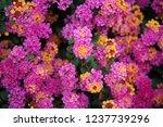 Pink Lantana Flowers. Beautifu...