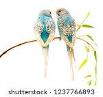Little Blue Wavy Parrots On...