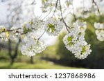 White Cherry flowers with branches, green soft background, 50mm lens