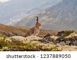Stock photo tundra hare also known as mountain hare in natural habitat lepus timidus 1237889050