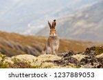 Stock photo tundra hare also known as mountain hare in natural habitat lepus timidus 1237889053