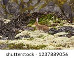 Stock photo tundra hare also known as mountain hare in natural habitat lepus timidus 1237889056