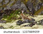 Stock photo tundra hare also known as mountain hare in natural habitat lepus timidus 1237889059