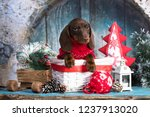 Stock photo puppy dachshund new year s puppy christmas dog 1237913020