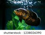 Predatory Fish Among The...