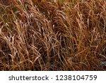 long dry grass  hay as...   Shutterstock . vector #1238104759