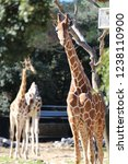 outdoor view of giraffes  also... | Shutterstock . vector #1238110900