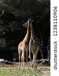 outdoor view of giraffes  also... | Shutterstock . vector #1238110906