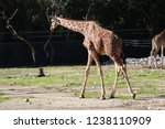 outdoor view of giraffes  also... | Shutterstock . vector #1238110909