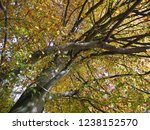 beech leaves at fall | Shutterstock . vector #1238152570