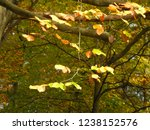 beech leaves at fall | Shutterstock . vector #1238152576