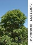 toona sinensis  chinese... | Shutterstock . vector #1238163640