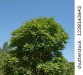 toona sinensis  chinese... | Shutterstock . vector #1238163643