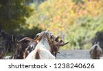 back view on white goat with... | Shutterstock . vector #1238240626