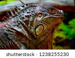 the green  iguana  is a large... | Shutterstock . vector #1238255230