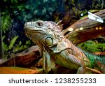 the green  iguana  is a large... | Shutterstock . vector #1238255233