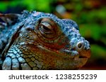 the green  iguana  is a large... | Shutterstock . vector #1238255239