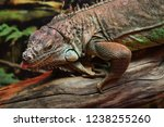 the green  iguana  is a large... | Shutterstock . vector #1238255260
