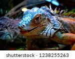 the green  iguana  is a large... | Shutterstock . vector #1238255263