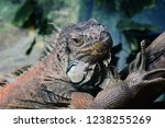 the green  iguana  is a large... | Shutterstock . vector #1238255269