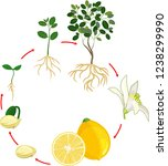 life cycle of lemon tree....   Shutterstock .eps vector #1238299990
