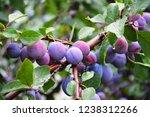 Beautiful Ripe Purple Plum On A ...