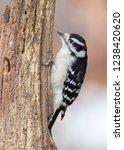 male downy woodpecker  picoides ... | Shutterstock . vector #1238420620