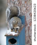 eastern gray squirrel  sciurus... | Shutterstock . vector #1238420623
