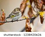 pine siskin  spinus pinus ... | Shutterstock . vector #1238420626