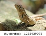 garden lizard in sri lanka | Shutterstock . vector #1238439076