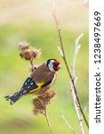 european goldfinch bird  ...   Shutterstock . vector #1238497669