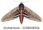 privet hawk moth  sphinx... | Shutterstock .eps vector #1238648326