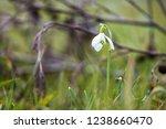 snowdrop at springtime   Shutterstock . vector #1238660470