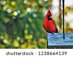 A Single Male Cardinal Bird...