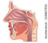 anatomy of the nose and throat. ... | Shutterstock .eps vector #123867553