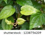 piper betle is a herbal tree... | Shutterstock . vector #1238756209