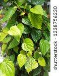 piper betle is a herbal tree... | Shutterstock . vector #1238756230