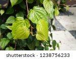 piper betle is a herbal tree... | Shutterstock . vector #1238756233