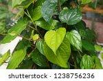 piper betle is a herbal tree... | Shutterstock . vector #1238756236